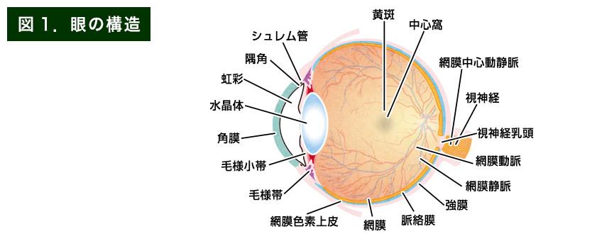 【画像】眼の構造